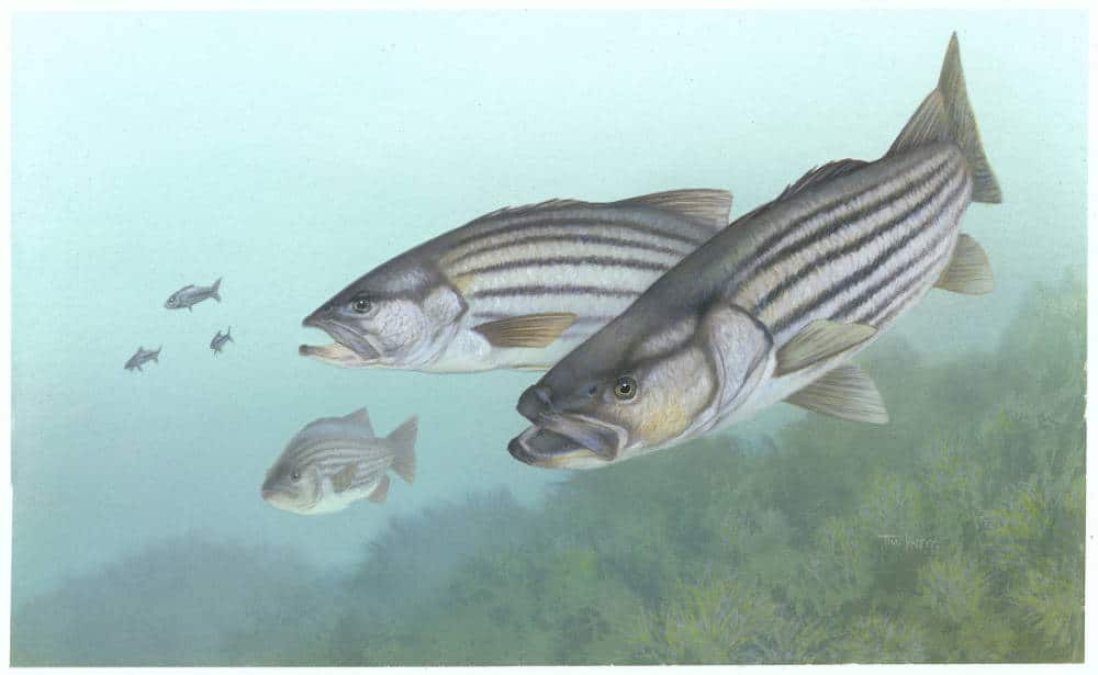 Original St. Lawrence River population of Striped Bass declared extinct