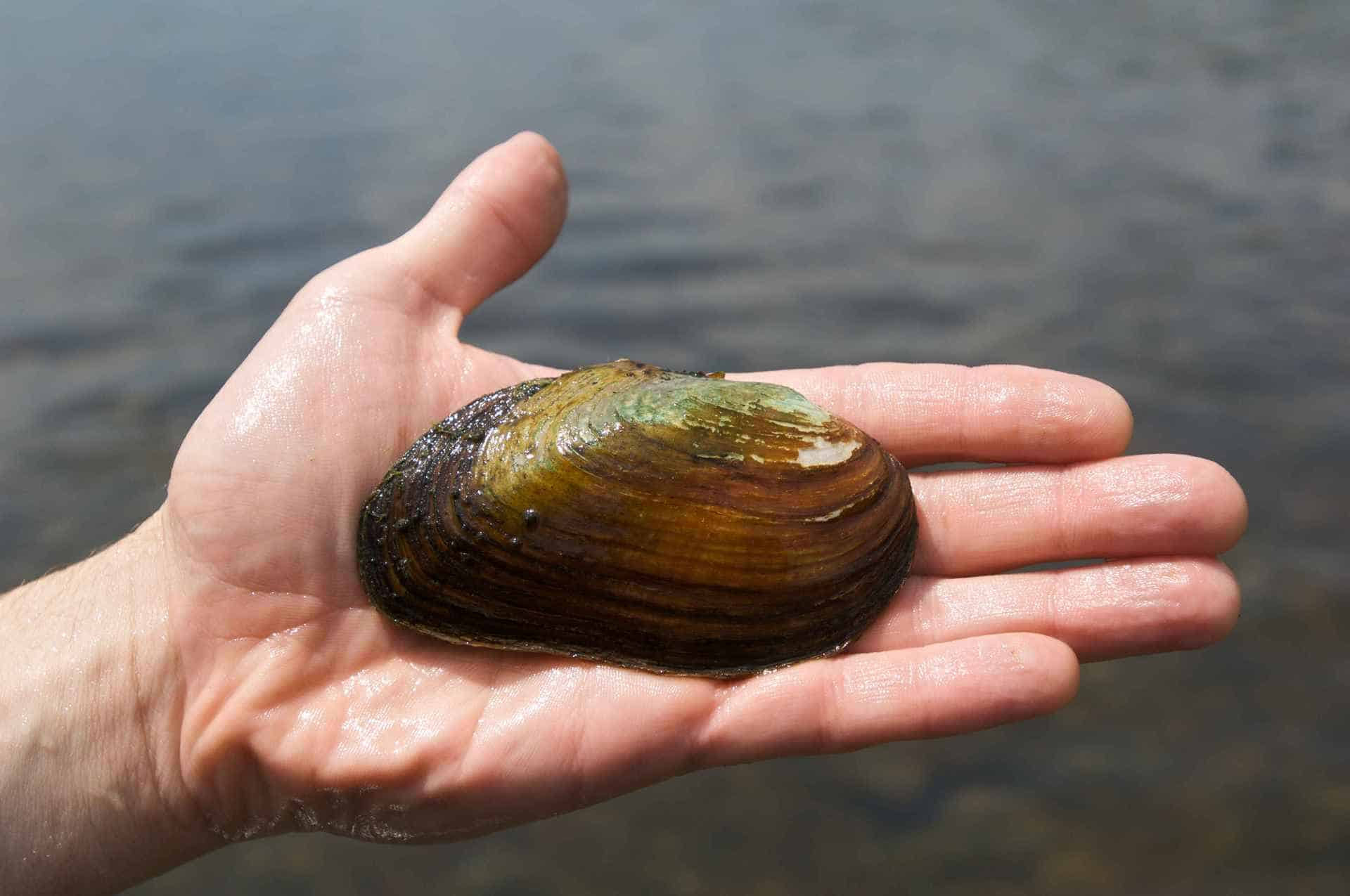 freshwater mussel and water quality a Water departments in minneapolis, minnesota, and moline, illinois, are using  native freshwater mussels in pilot programs as early-warning.