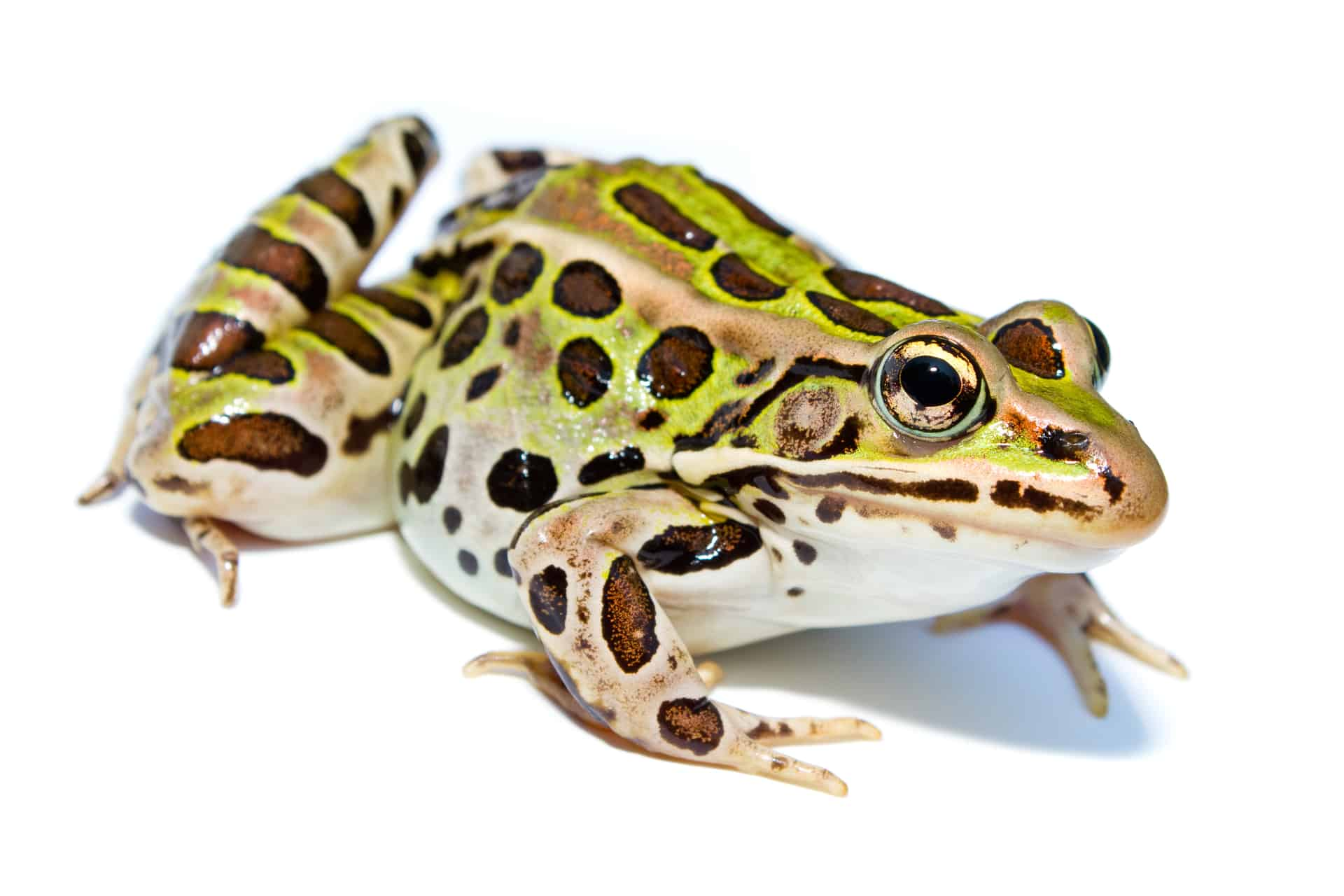 Northern leopard frog eating - photo#52