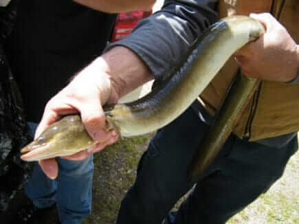 American eel being held